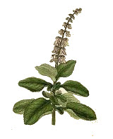 Plectranthus barbatus