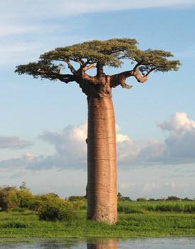 Baobab träd