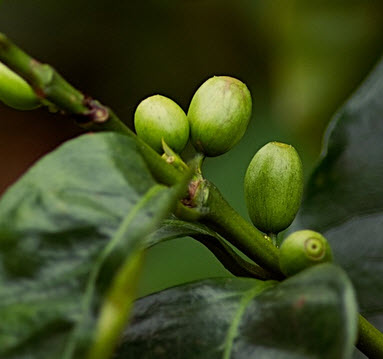 gröna kaffbönor
