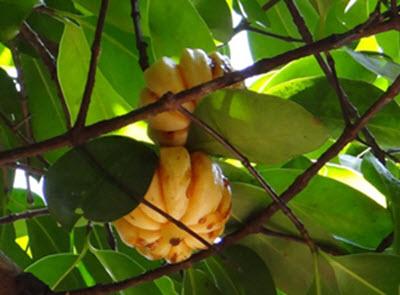Garcinia Cambogia frukt