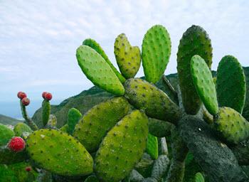 opuntia som använs i kaktusextrakt
